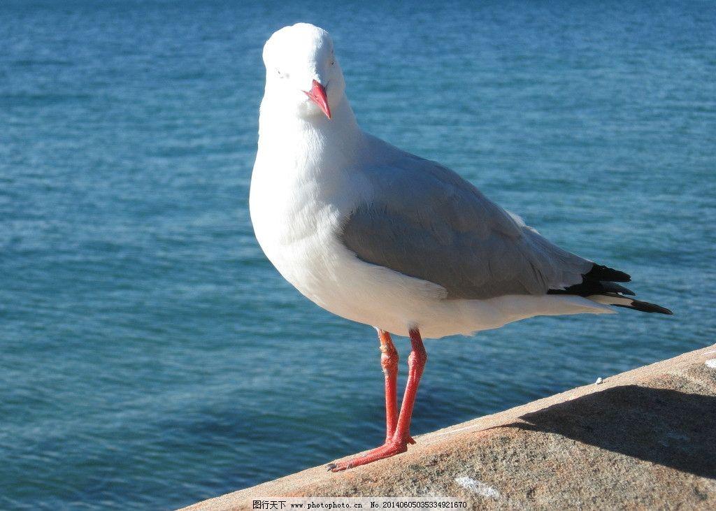 白鸽 澳洲 旅游 羽毛 白与灰 鸟类 生物世界 摄影 180dpi jpg