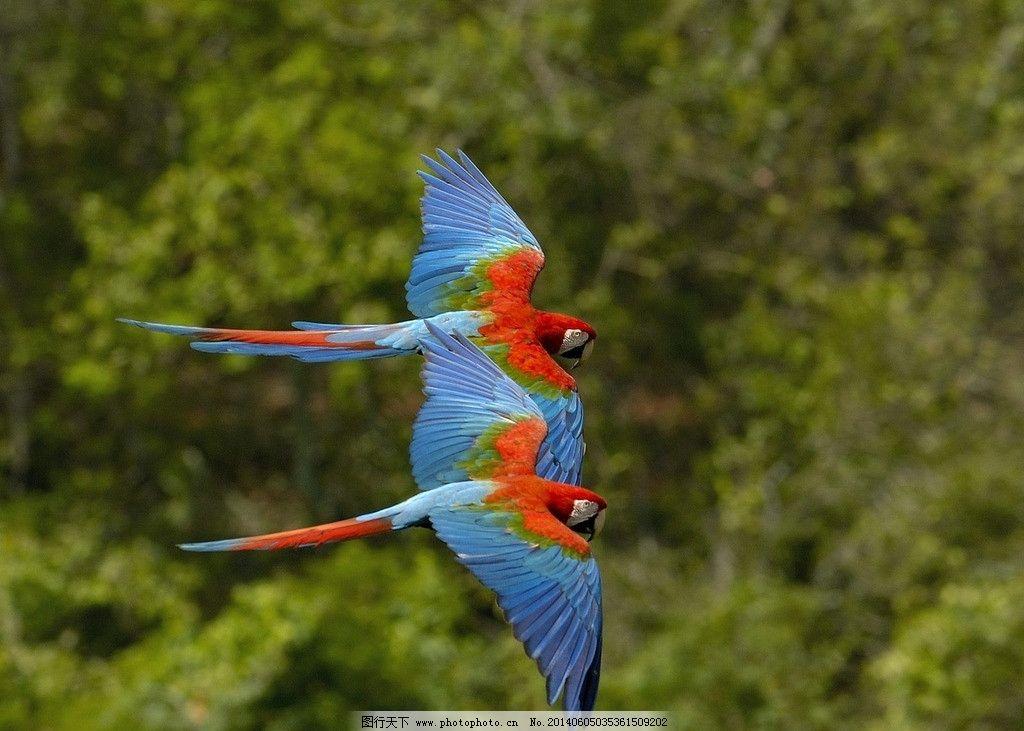 飞翔的两只鹦鹉图片