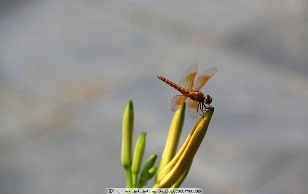 蜻蜓 花苞 动物 昆虫 晴天 生物世界 摄影 72dpi jpg