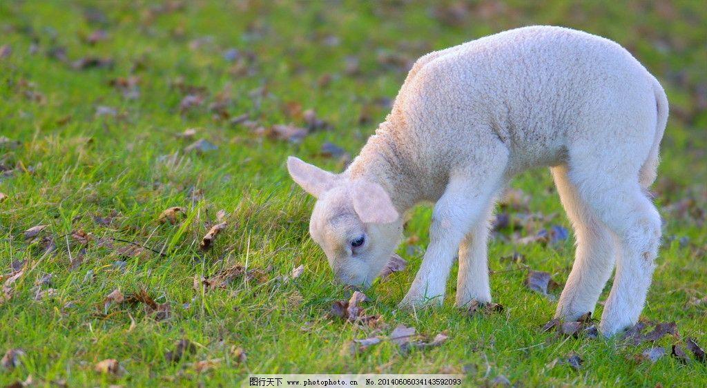 可爱动物小绵羊图片