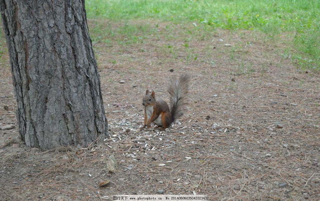 松鼠 动物 小动物 松树 滑鼠子 土地 草地 野生动物 生物世界 摄影