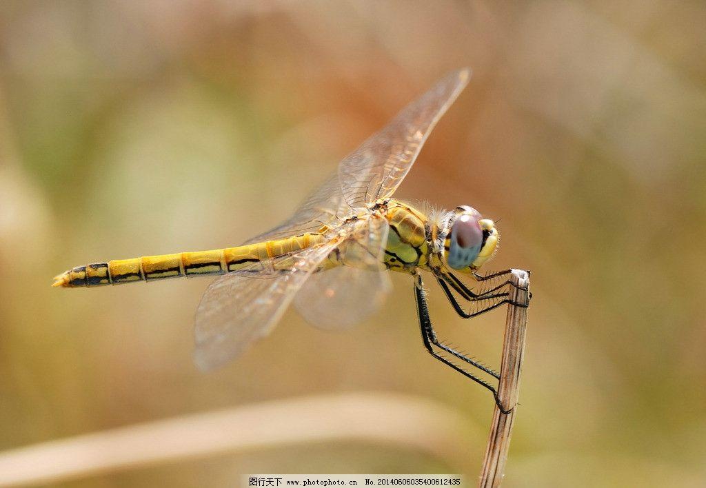 蜻蜓 摄影 生物 动物 昆虫 生物世界 300dpi jpg