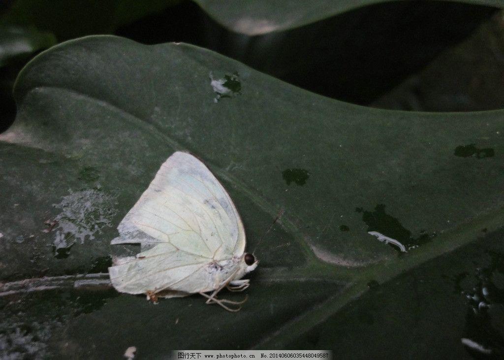 死去的蝴蝶 小蝴蝶 树叶 白色 野生 大自然 昆虫 生物世界 摄影 72dpi