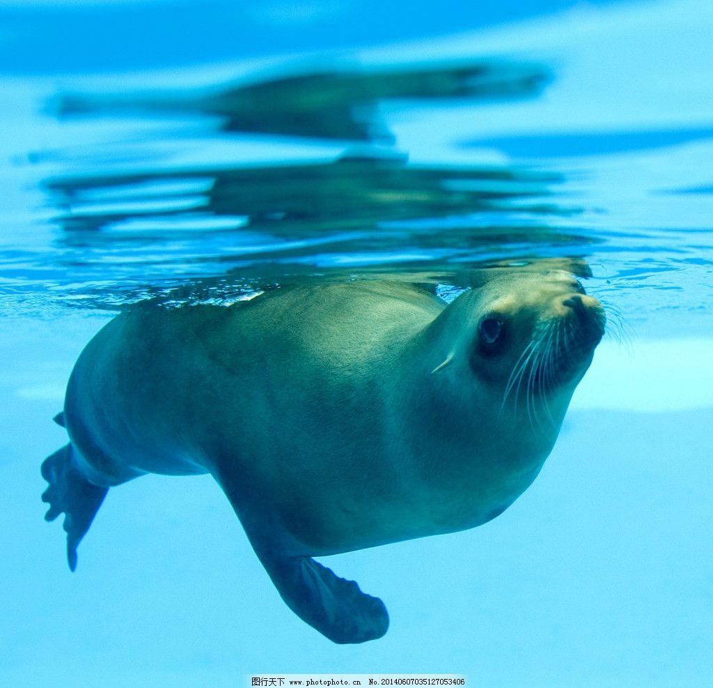 普利比洛夫群岛 海豹