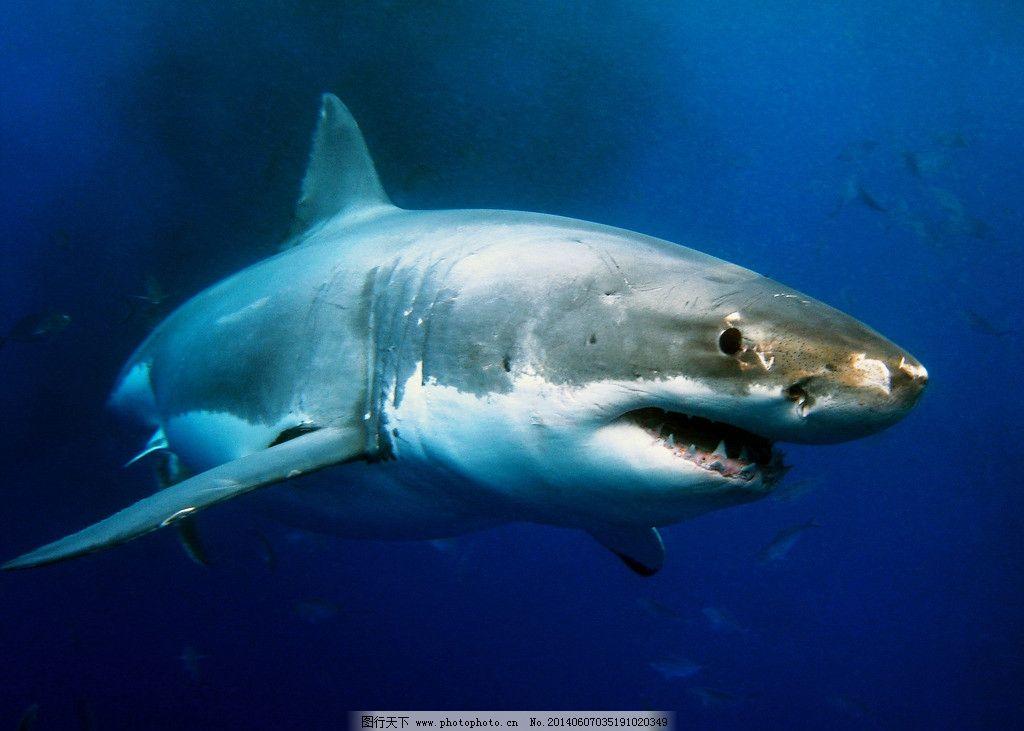 鲨鱼 海洋生物 鱼 海底 海底世界 大海 生物世界 鱼类 摄影 300dpi