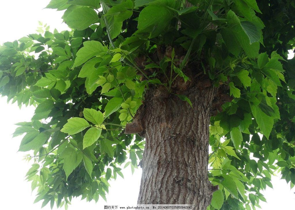 桐树 夏天 绿叶 素材 大树 树木树叶 生物世界 摄影 350dpi jpg