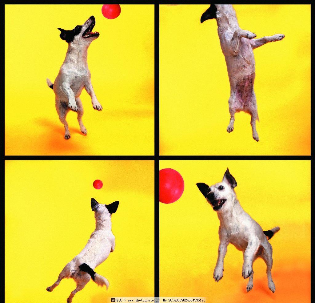 小狗 狗 犬 猫狗 家庭宠物 宠物 动物写真 动物 可爱动物 萌图 飞盘