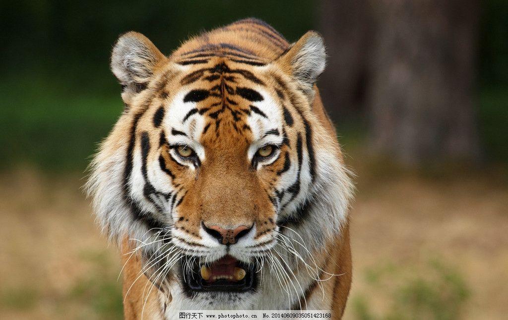 老虎 动物 自然 野生 猫科 野生动物 生物世界 摄影 300dpi jpg