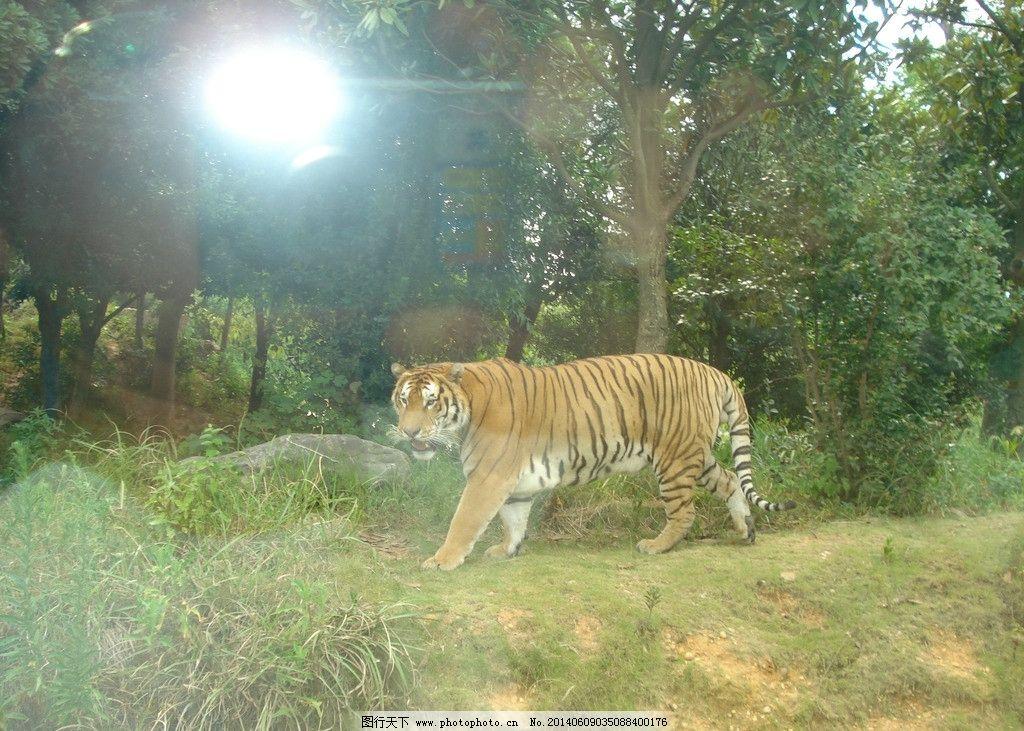 东北虎 长沙生态动物园 7月 旅游 摄影 野生动物 生物世界 72dpi jpg