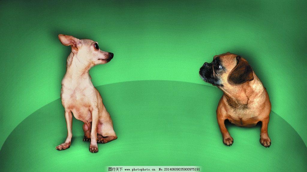 小狗 狗 犬 猫狗 家庭宠物 宠物 动物写真 动物 可爱动物 萌图 家禽