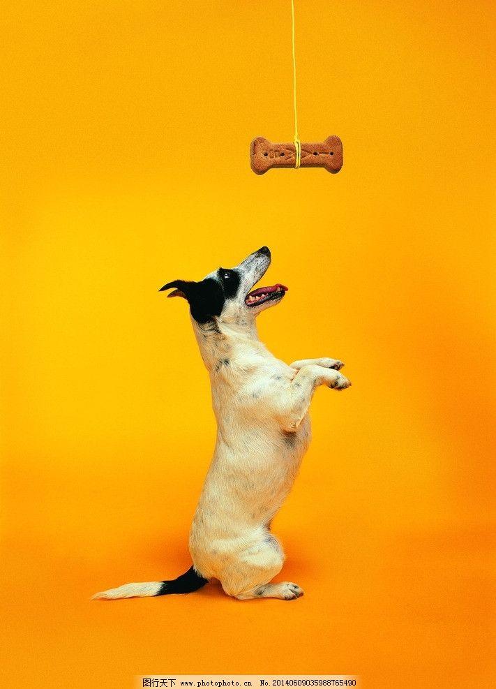 狗 小狗 犬 猫狗 家庭宠物 宠物 动物写真 动物 可爱动物 萌图 家禽家