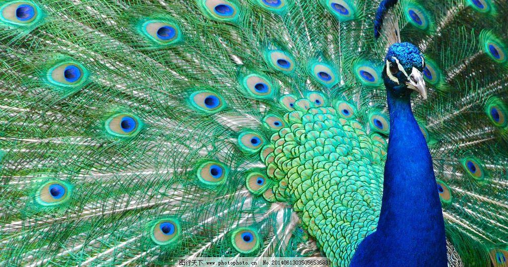 孔雀图片_野生动物_生物世界_图行天下图库