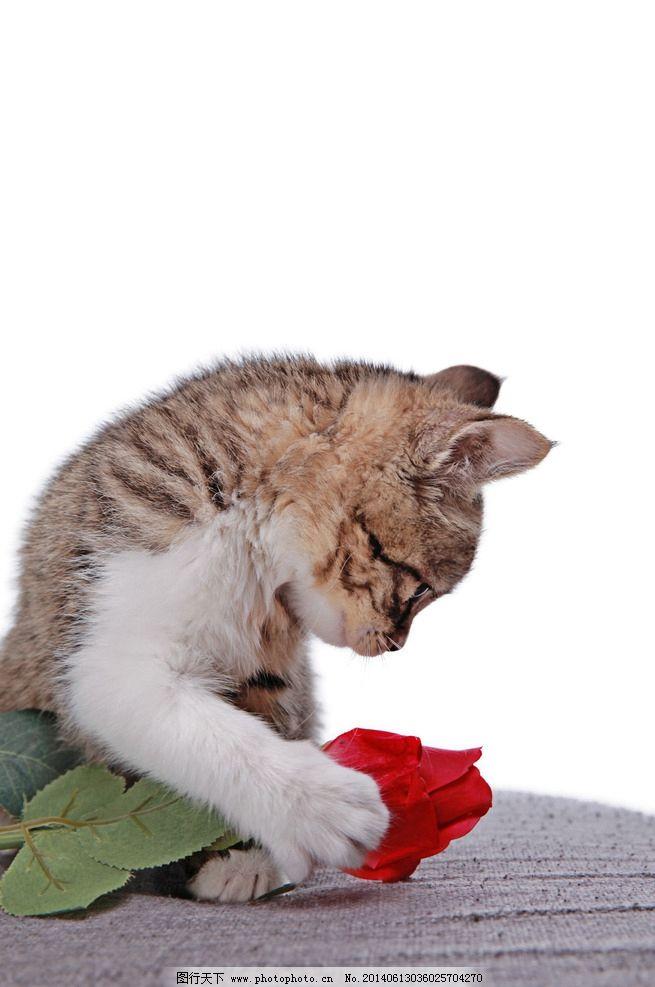 猫与玫瑰花图片
