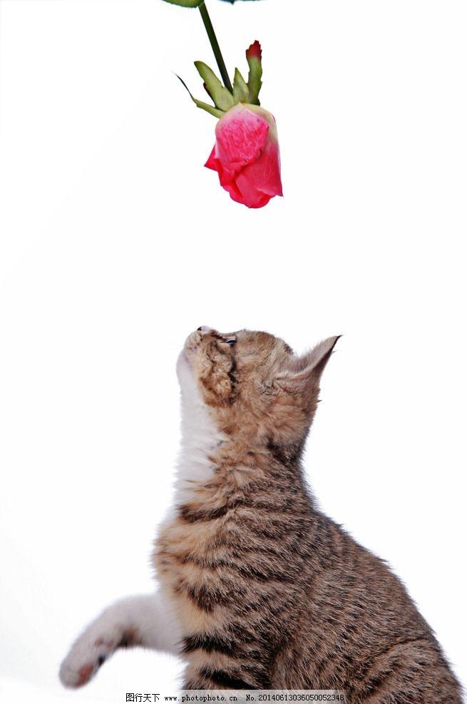 猫和玫瑰花图片