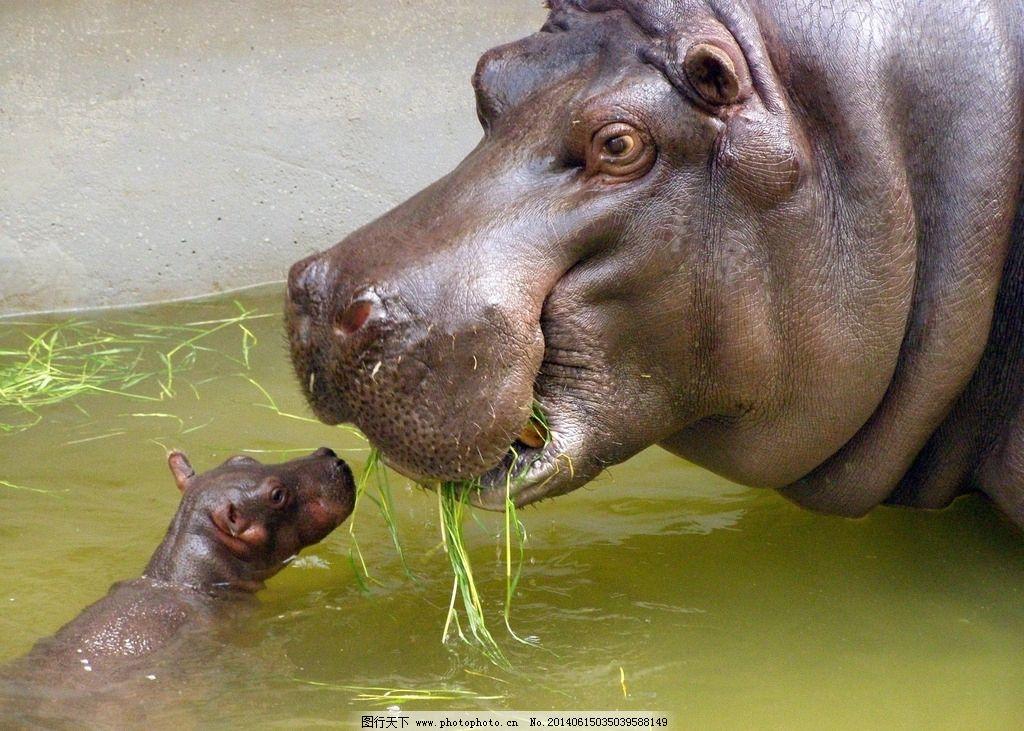 河马母子 河马 动物园 大河马 河河马 野生动物 生物世界 摄影 72dpi