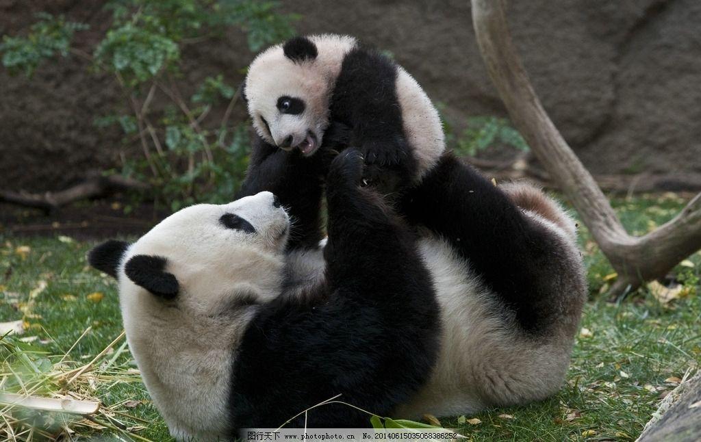 熊猫母子 高清晰熊猫 保护动物 濒危物种熊猫 生物 摄影