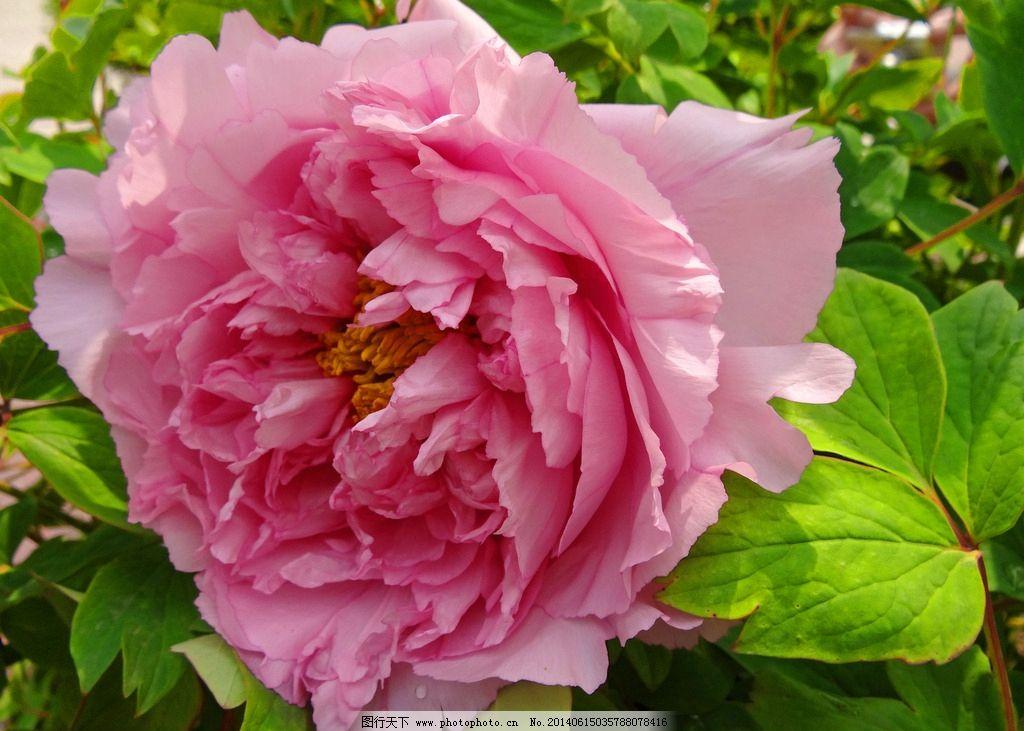 摄影 花卉/牡丹 紫红春季 摄影 花卉图片
