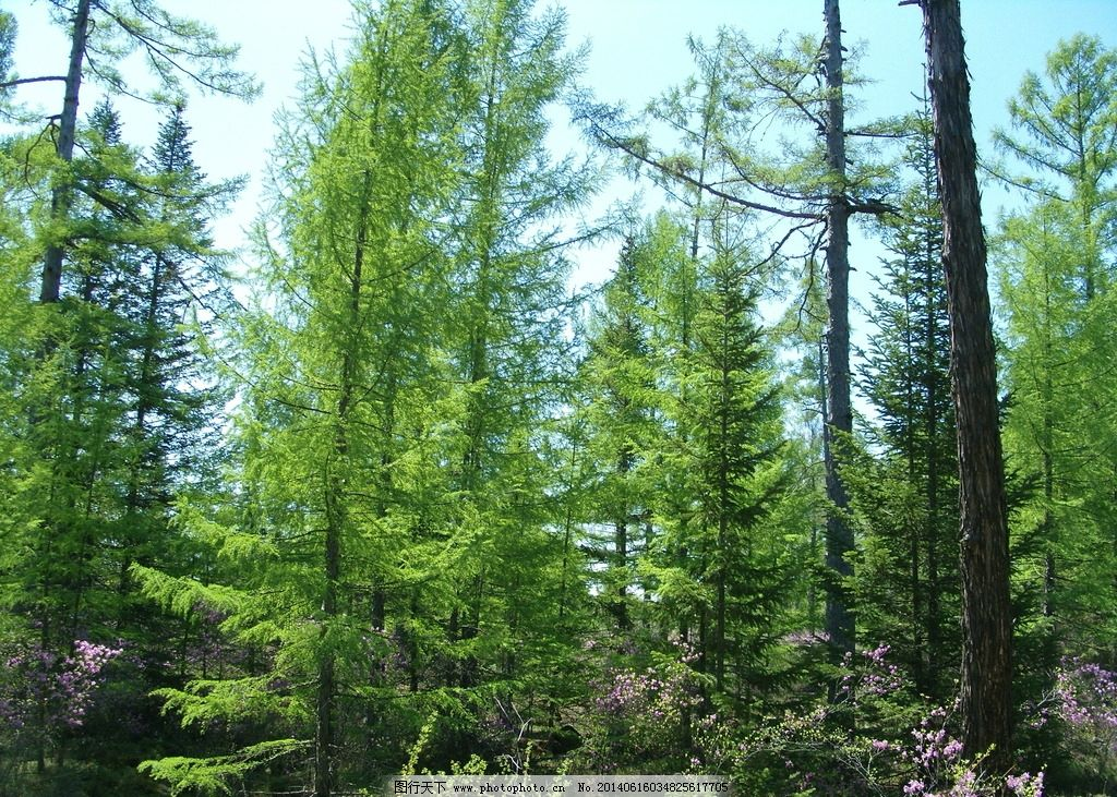 红松 野生 小兴安岭 树木 丛林 自然风景 自然景观 摄影 72dpi jpg