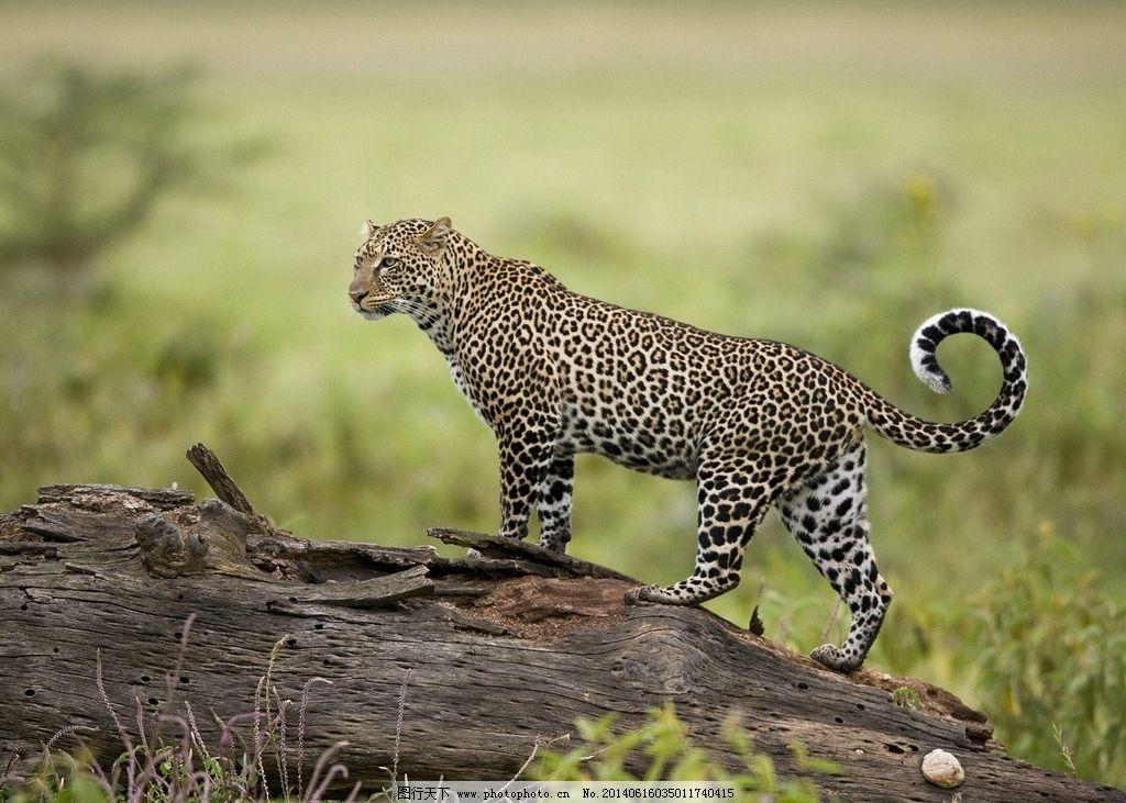 豹子 动物 野生动物 非洲动物 马达加斯加 猫科动物 花豹 金钱豹 生物
