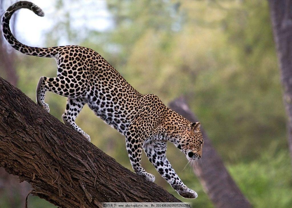 豹子 动物 野生动物 非洲动物