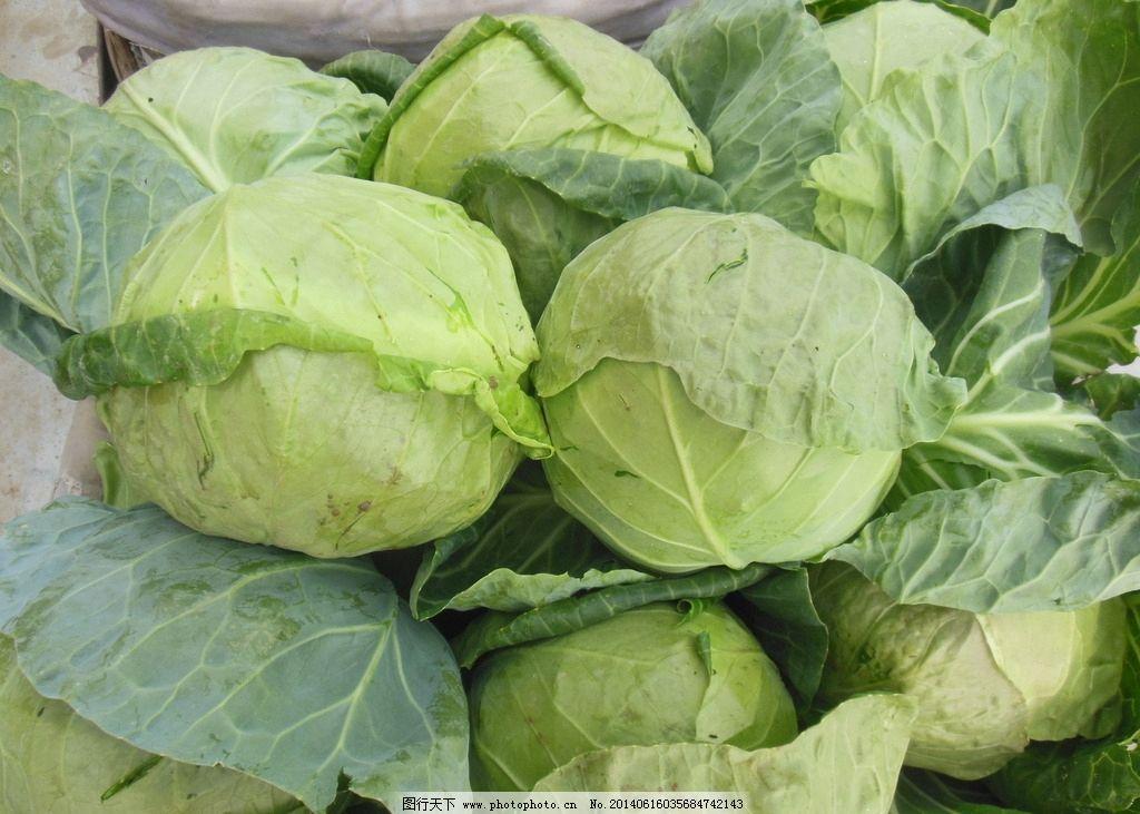 卷心菜 白菜 蔬菜 绿色蔬菜 健康蔬菜 生物世界 摄影