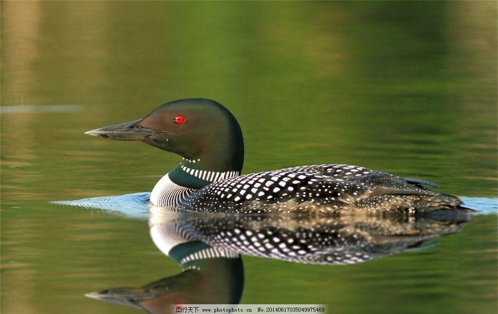 鸭子图片_野生动物_生物世界