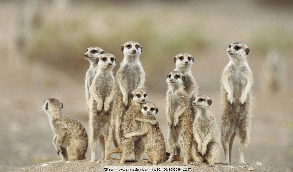 猫鼬 动物 非洲动物 热带草原动物 赞比亚 野生动物 生物世界 摄影