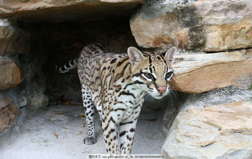 豹猫图片 豹猫 猫科动物 动物园 居所 斑点 斑纹 野生动物 保护动物