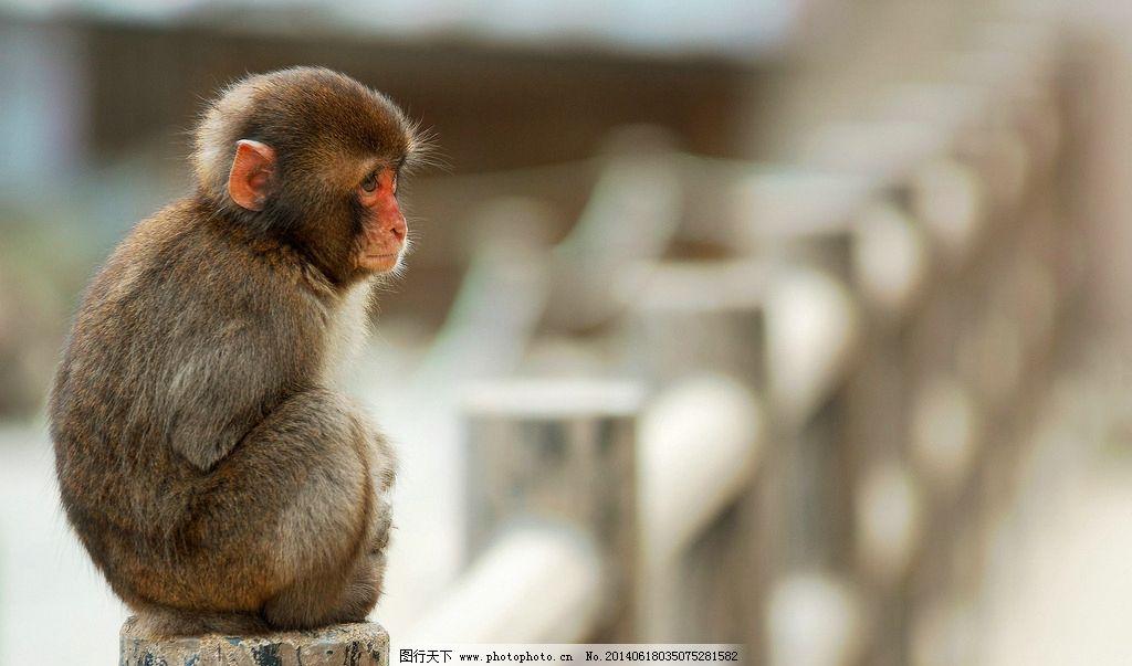 猴子 猴 小猴子 可爱 野生 黄山猴 动物 野生动物 生物世界 摄影 72