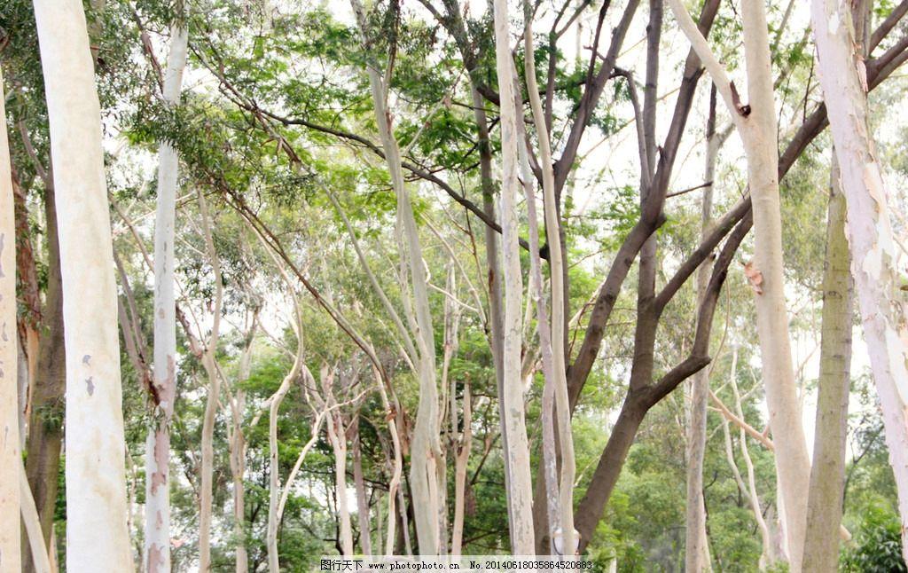 白桦树 树杆 树枝 公路 笔直 挺拔 树木树叶 生物世界 摄影 72dpi jpg