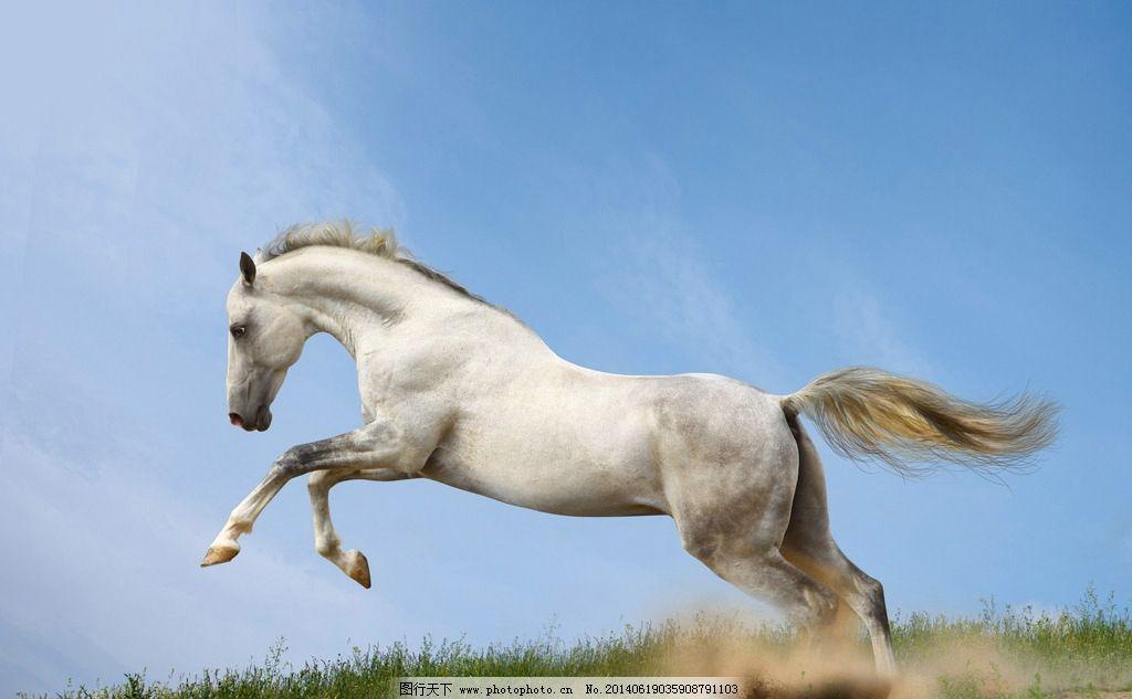 骏马 白色骏马 奔跑 马 骏马图片 骏马素材 动物素材 家禽家畜 生物
