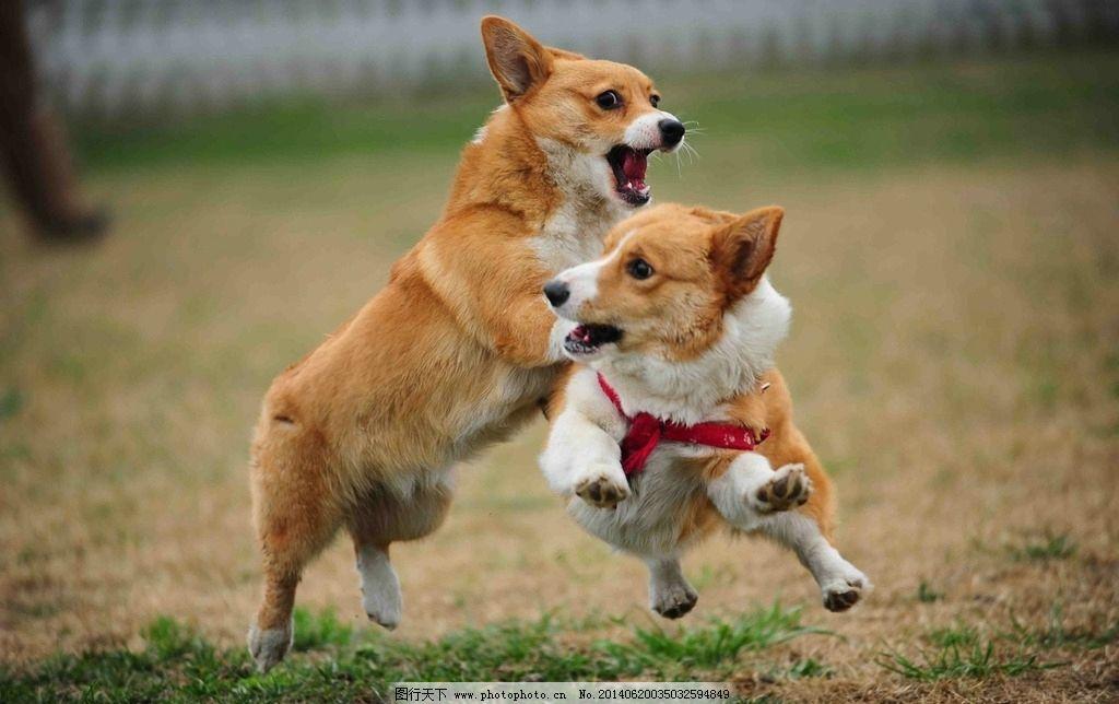 玩耍的狗狗 奔跑的狗狗 玩耍 黄白 草地 可爱 张嘴 露舌头 动物世界