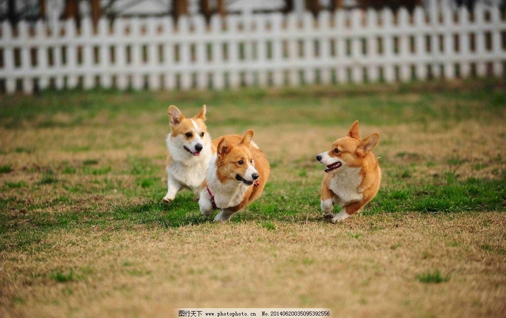 玩耍的狗 奔跑的狗狗 黄白 草地 可爱 动物世界 野生动物 生物世界