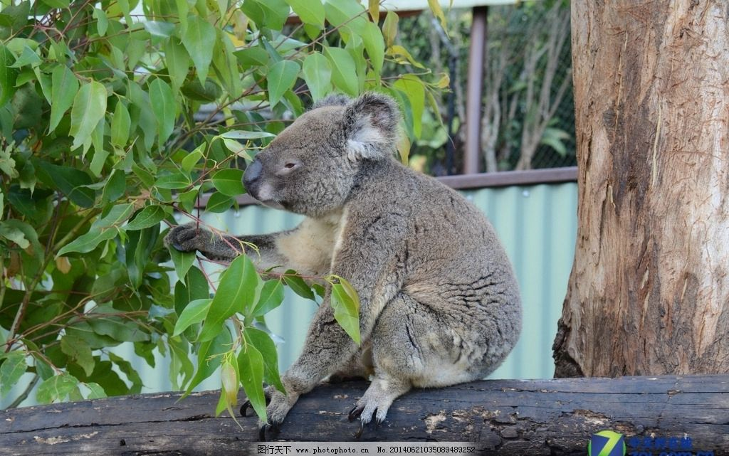 哺乳动物 澳大利亚动物 有袋类动物 树袋熊 野生动物 生物世界 摄影