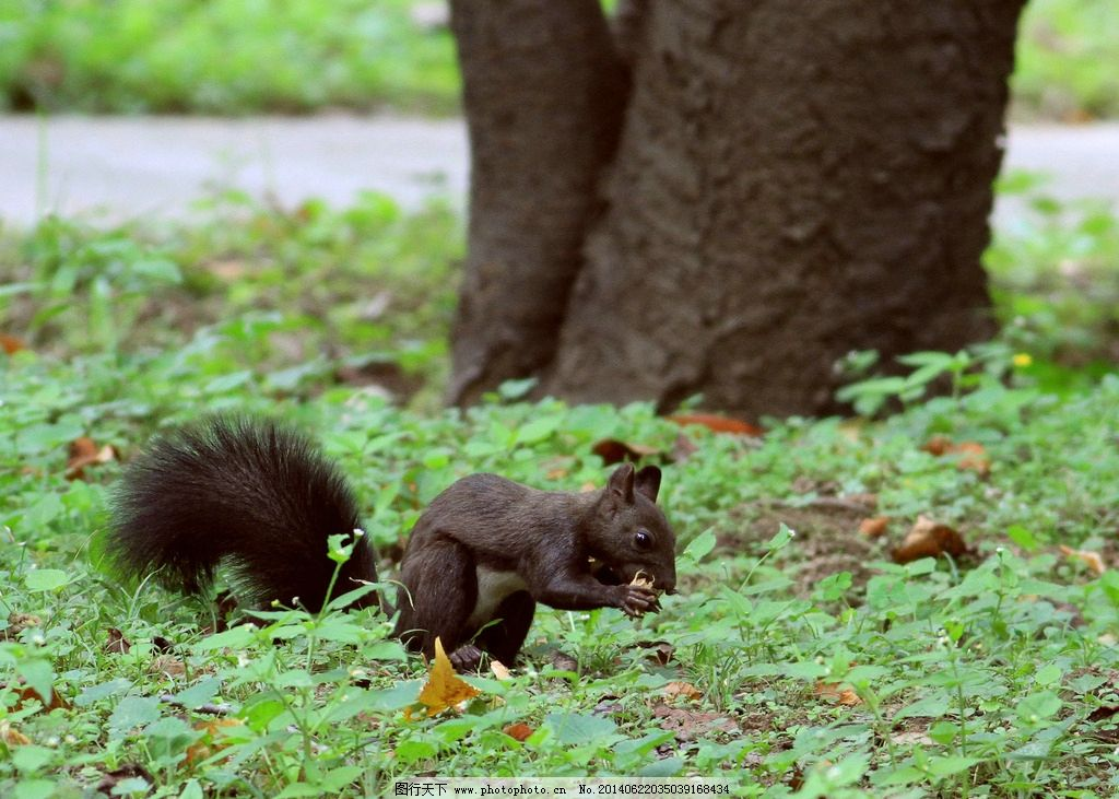 吃东西的松鼠 松鼠 小松鼠 黑松鼠 野生松鼠 野生动物 小动物 草地上