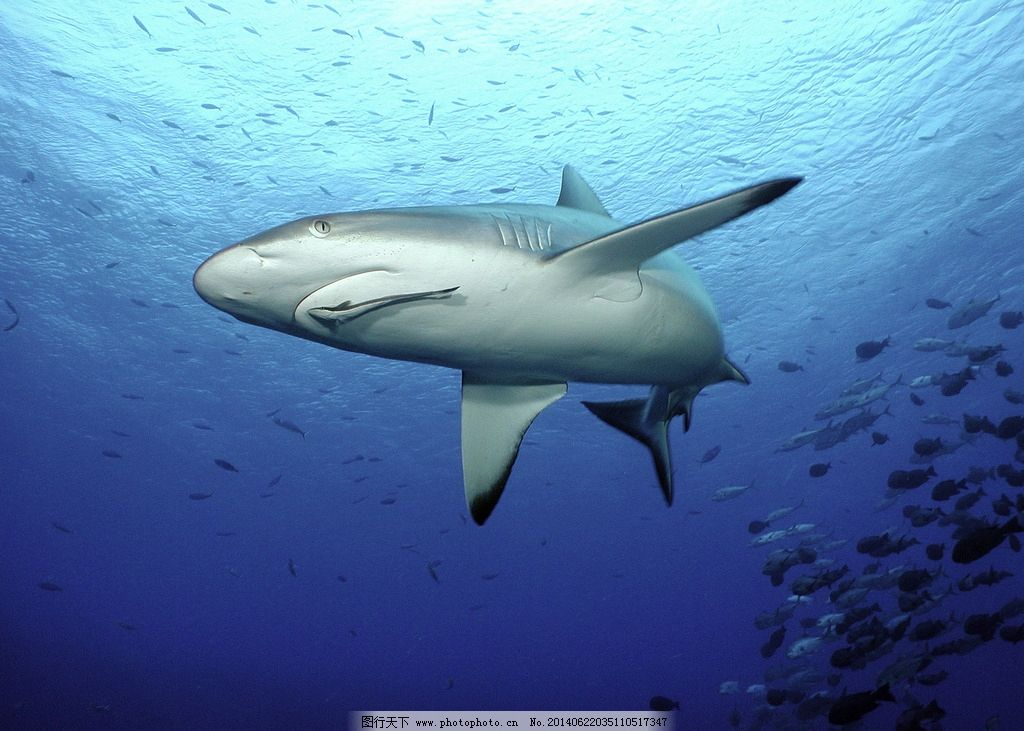鲨鱼 鱼翅 鱼群 进食 海洋 海洋动物 海洋生物 生物世界 摄影 320dpi