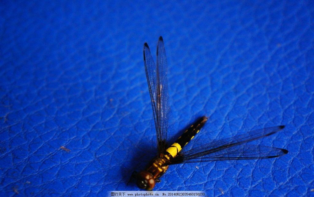 蜻蜓 蜻蜓图片 昆虫 网状翅脉 蓝色背景 素材下载 生物世界 摄影 350