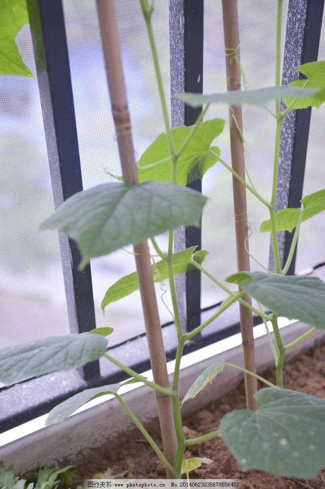 藤蔓植物 菜蔬 蔬菜 阳台种植 瓜类 黄瓜 生物世界 摄影 300dpi jpg