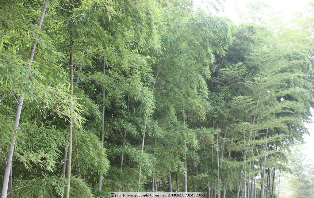 竹子林 竹林 绿竹 夏天 绿色 天然 树木树叶 生物世界 摄影 72dpi jpg