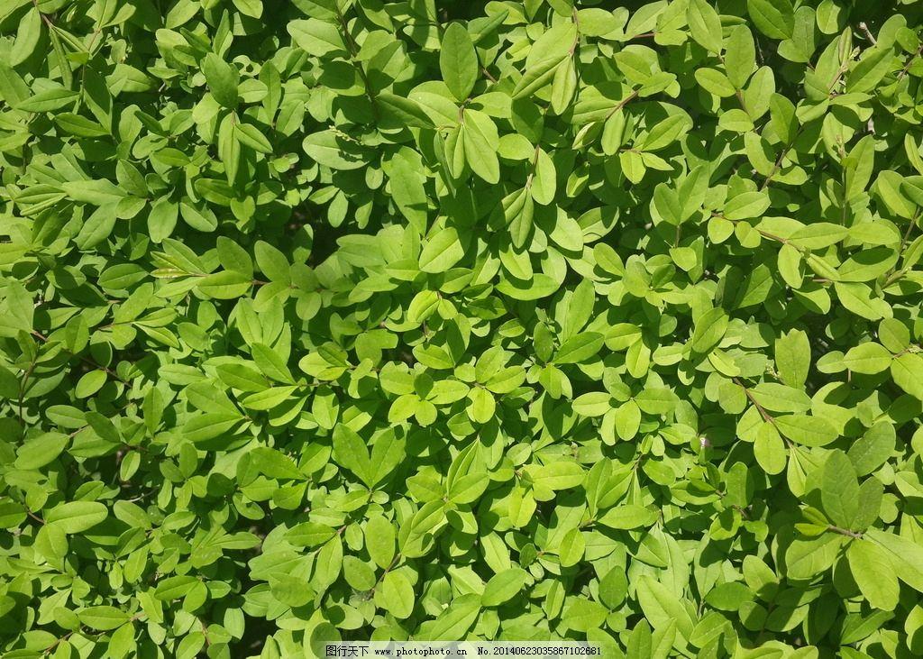灌木树叶图片