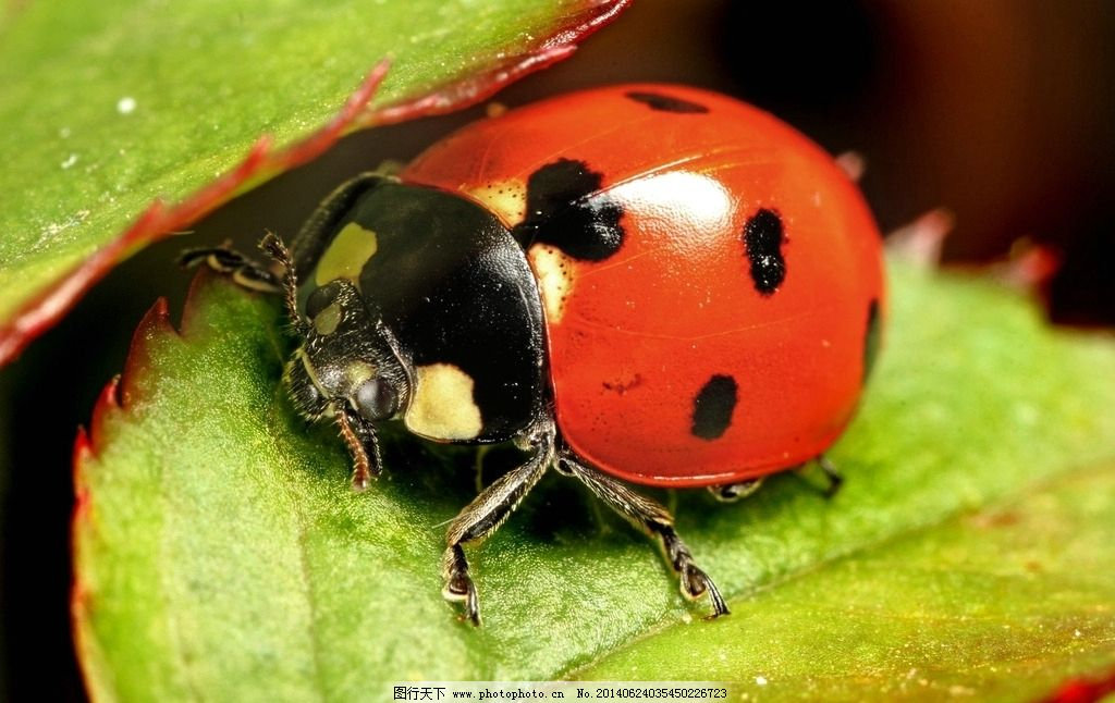 七星瓢虫 昆虫 树叶 红色 生物世界 摄影