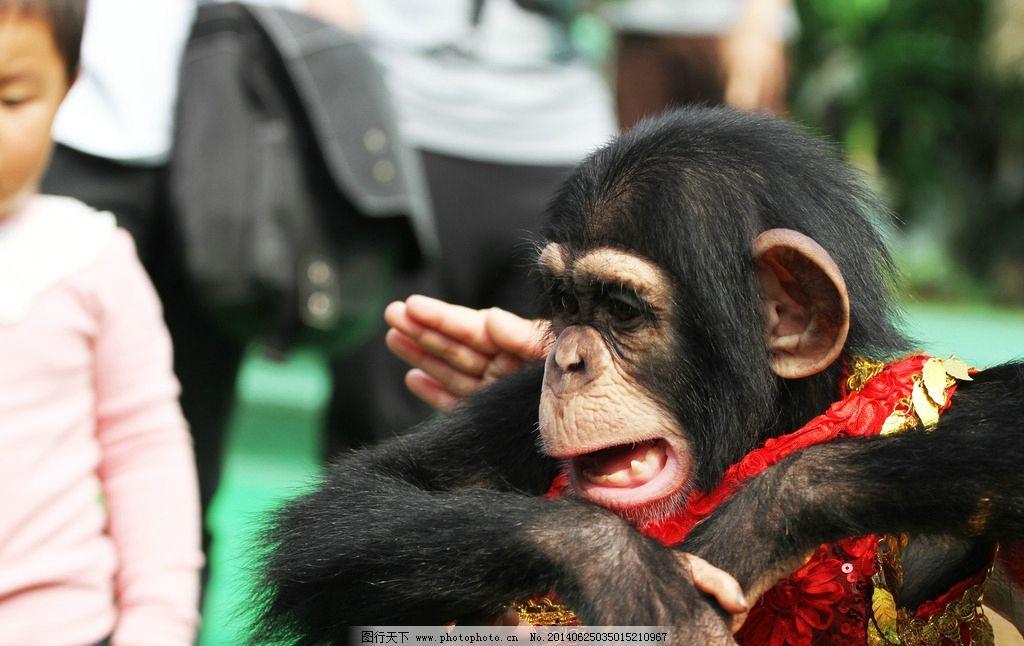 黑猩猩 自然 生态 环境 动物 猴子 野生动物 生物世界 摄影 72dpi jpg