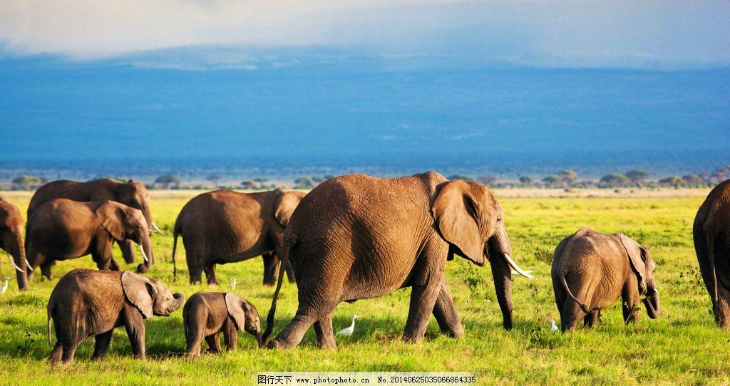野生动物 小象 草地 青草 行走 迁徙 保护动物 动物 生物世界 摄影