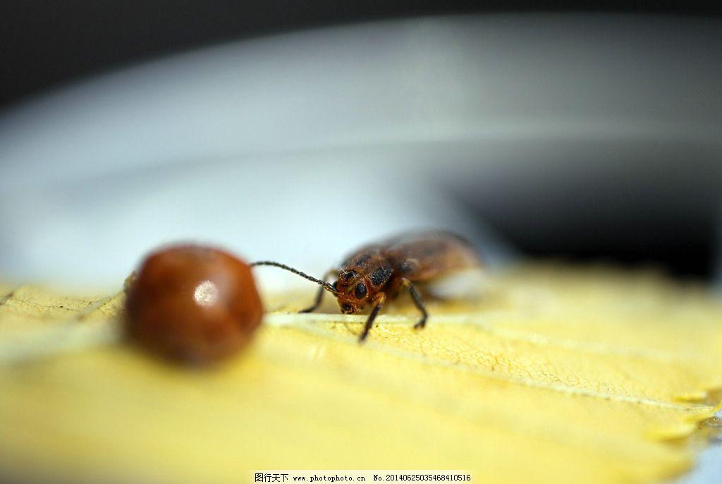 甲虫 昆虫 动物 生物 甲壳虫 节肢动物 昆虫世界 生物世界 摄影 350