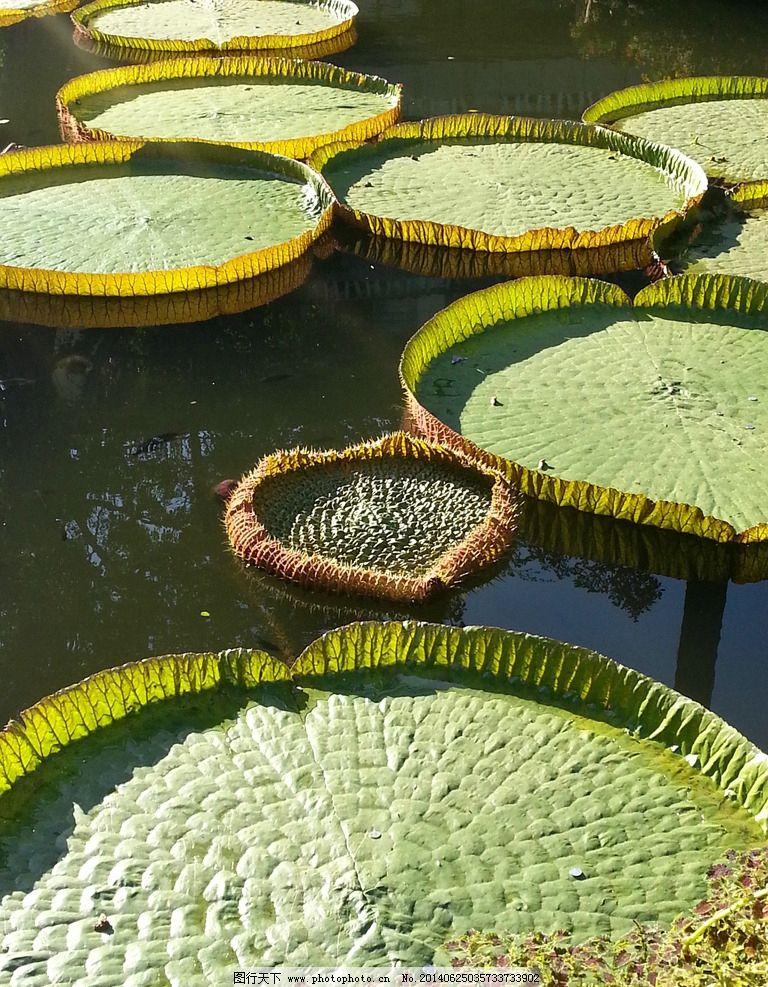 王莲 莲花 植物 叶子 水 摄影