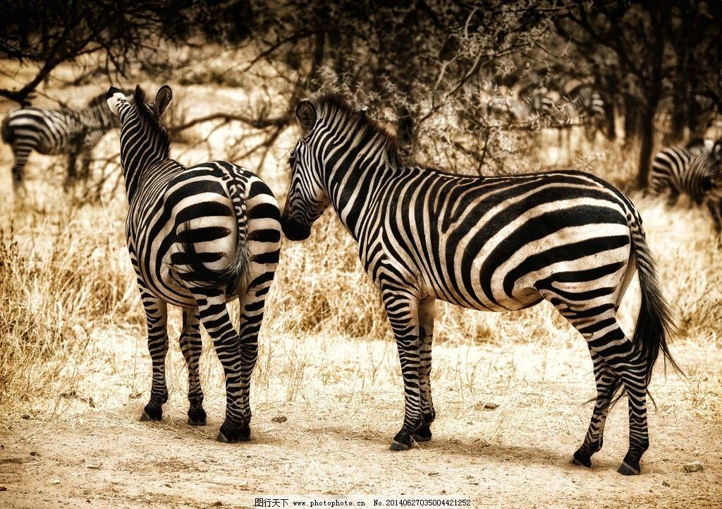 斑马 野生 情侣斑马 斑马恋爱 斑马摄影 野生动物 生物世界 摄影 96