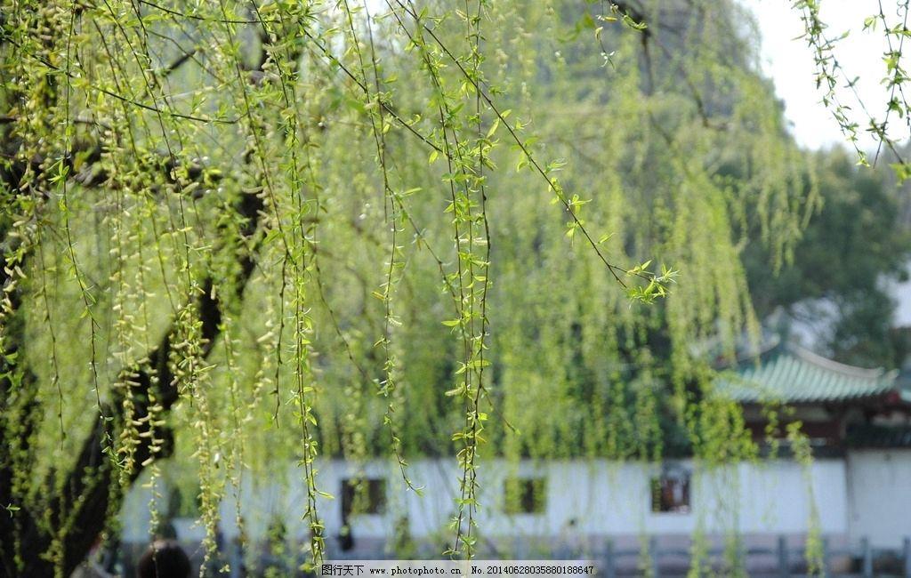 柳树 绿色 春天 景色