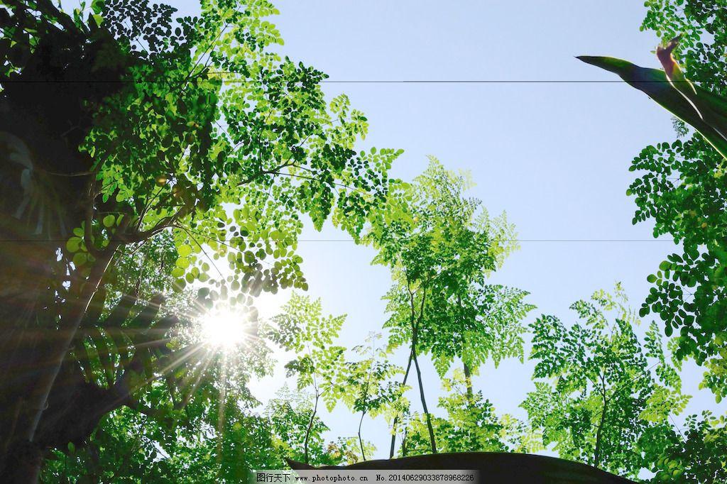 辣木树免费下载 辣木树 图片素材 生物世界