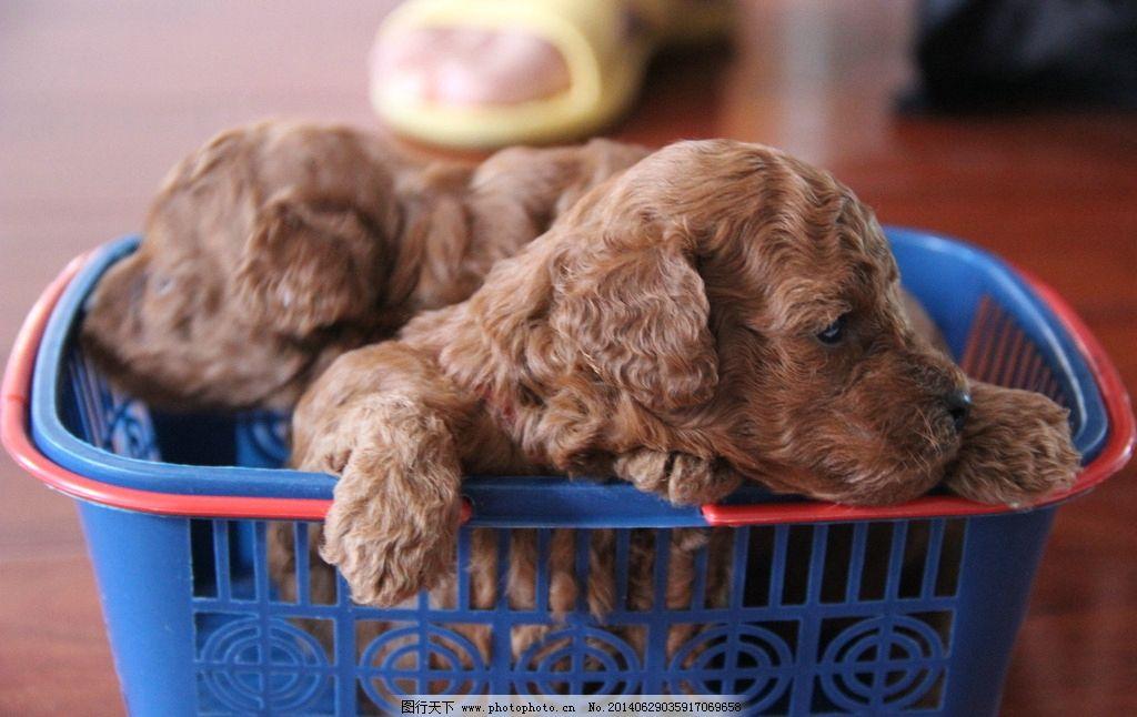 贵宾犬 泰迪犬 宠物 萌物 宠物店 狗狗 小狗 可爱 红贵宾 玩具