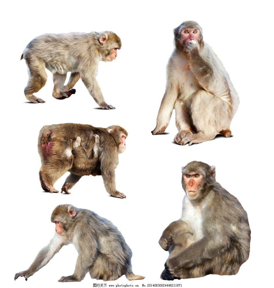 猴子 小猴 动物 野生动物 可爱动物 生物世界 设计 300dpi jpg